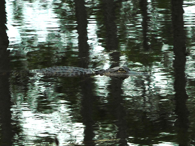 rt_dec2016_day03_oke_swamptrail_gatorripplesreflect_dscn2400_650w