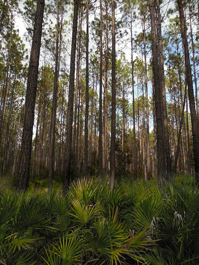 FL-DEC2013_1222-osceola-forest_DSCN4433_650w