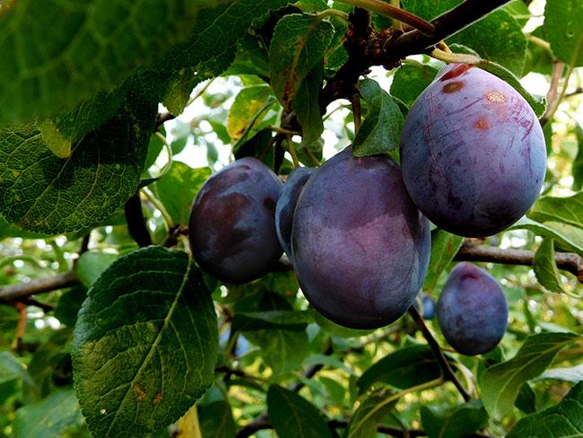 Serbia_JU2016_plums-plumsclose-crop_DSCN1047_650w